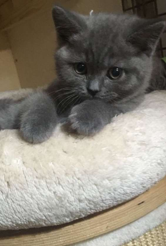 Tenemos la camada british shorthair kittens