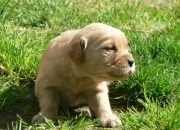 Se venden lindos cachorros Golden