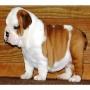 Bulldog Inglés cachorros para su aprobac