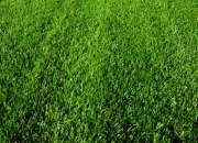 Pasto alfombra excelente calidad